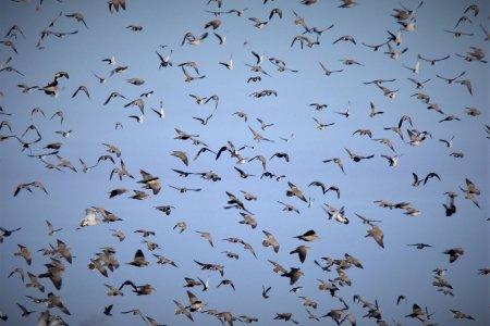 High volume doves